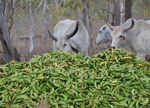 Green banana products